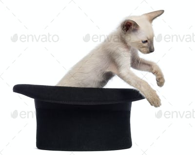 Oriental Shorthair kitten, 9 weeks old, jumping out magician's hat, against white background