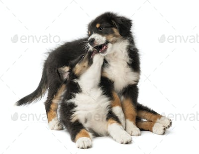 Two Australian Shepherd puppies, 2 months old, play fighting against white background