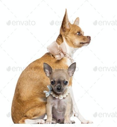 Two Chihuahua puppies, 4 and 7 months old, sitting and wearing collars, pearl