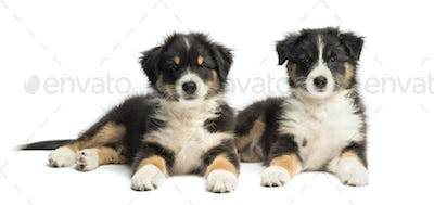 Two Australian Shepherd puppies, 2 months old, lying and looking at camera against white background
