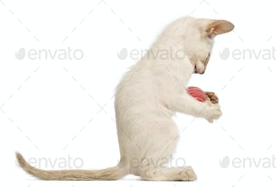Oriental Shorthair kitten, 9 weeks old, playing with ball against white background