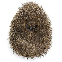 Hedgehog curled up against white background