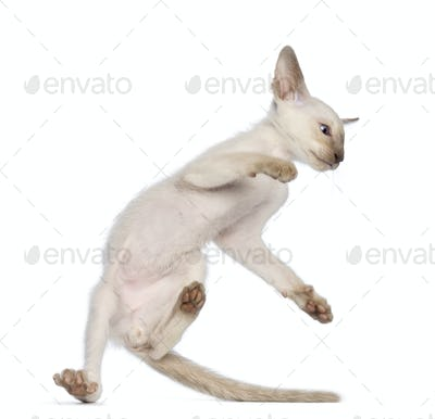 Oriental Shorthair kitten making an acrobatic jump against white background
