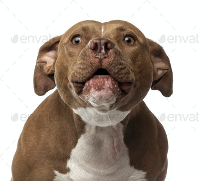 Close-up of an American Staffordshire Terrier barking against white background