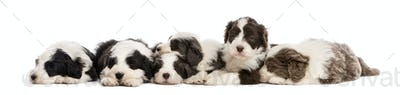 Group of Bearded Collie puppies, 6 weeks old, sleeping in a row against white background