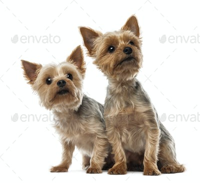 Two Yorkshire Terriers sitting and looking away against white background