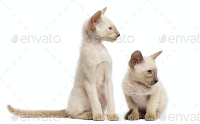 Two Oriental Shorthair kittens, 9 weeks old, sitting, lying