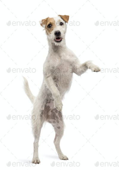 View througth a glass of a Parson Russell Terrier on hind legs, leaning against the glass