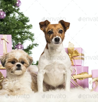 Shih Tzu and Jack Russell Terrier sitting in front of Christmas decorations against white background