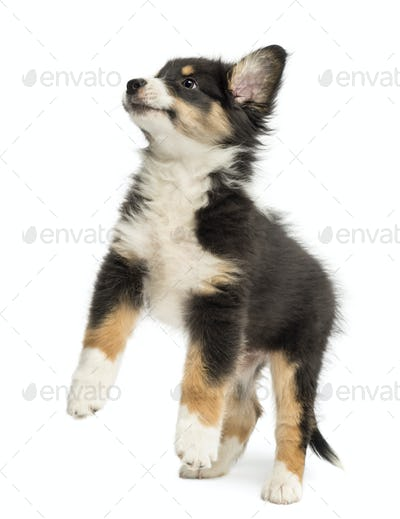 Australian Shepherd puppy, 2 months old, leaping against white background
