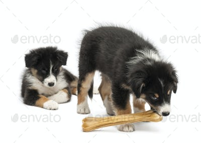 Two Australian Shepherd puppies, 2 months old,  one watching other eating knuckle