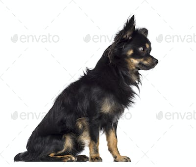 Side view of Chihuahua, 1.5 years old, sitting and looking away against white background
