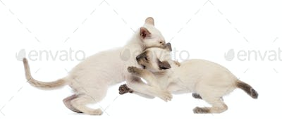 Two Oriental Shorthair kitten play fighting against white background