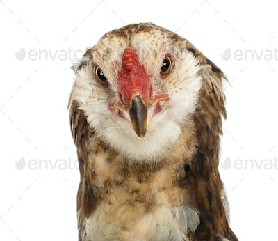 Close-up of an Araucana, 5 months old, against white background