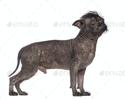 Hairless dog, mix between French bulldog and Chinese Crested Dog, against white background