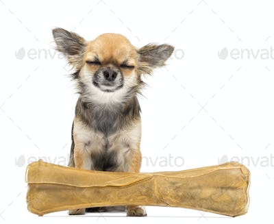Chihuahua sitting with its eyes closed behind knuckle bone against white background