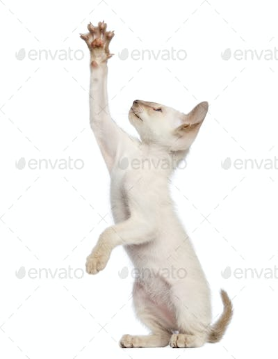 Oriental Shorthair kitten, 9 weeks old, standing on hind legs and reaching against white background
