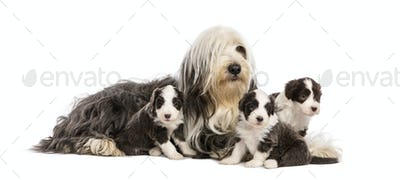 Bearded Collie puppies, 6 weeks old, around their mother sitting against white background