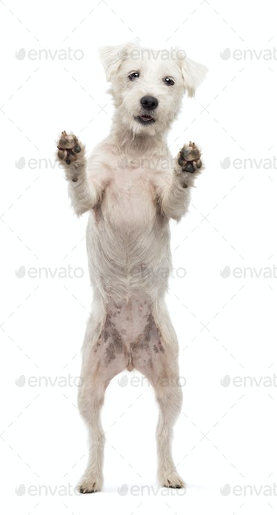 Parson Russell Terrier standing on hind legs and looking at camera against white background