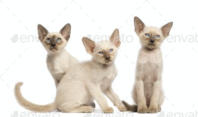 Three Oriental Shorthair kittens sitting and looking away against white background