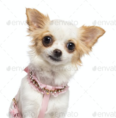 Chihuahua, 1 year old, wearing pink harness against white background