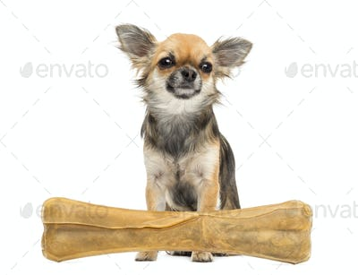 Chihuahua sitting behind knuckle bone and looking away against white background