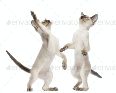 Two Oriental Shorthair kittens, 9 weeks old, standing on hind legs
