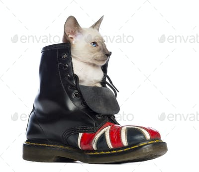 Oriental Shorthair kitten sitting in boot with Union Jack against white background