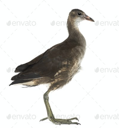 Common Moorhen, Gallinula chloropus, also known as the 'swamp chicken' against white background