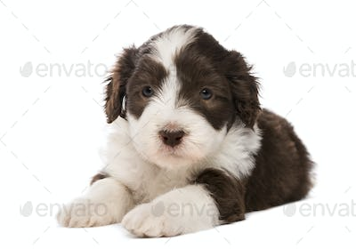 Bearded Collie puppy, 6 weeks old, lying against white background