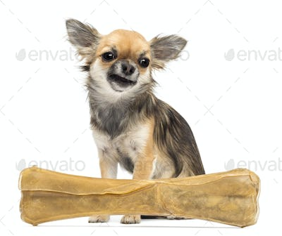 Chihuahua sitting behind knuckle bone against white background