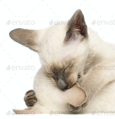 Two Oriental Shorthair kittens, 9 weeks old, play fighting and biting ear against white background