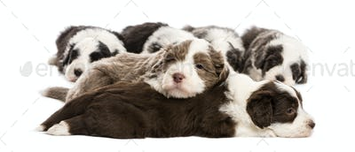 Bearded Collie puppies, 6 weeks old, lying against white background