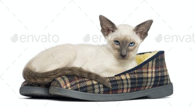 Oriental Shorthair kitten, 9 weeks old, lying on pair of slippers against white background