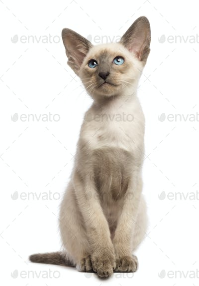 Oriental Shorthair kitten, 9 weeks old, looking up against white background