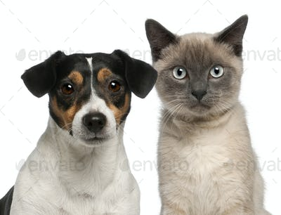 Close-up of Siamese kitten, 6 months old, and Jack Russell Terrier against white background