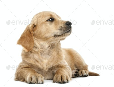 Golden retriever puppy, 7 weeks old, lying against white background