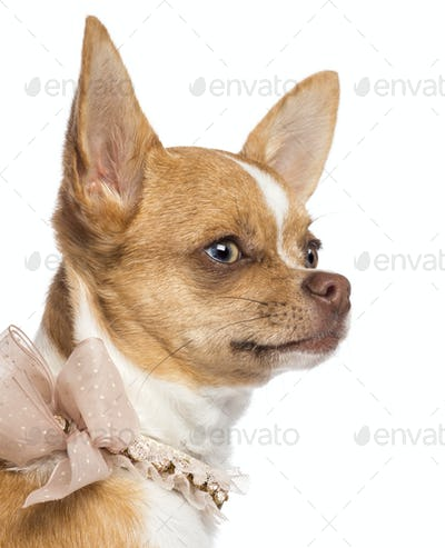 Chihuahua, 7 months old, wearing lace collar and looking away against white background