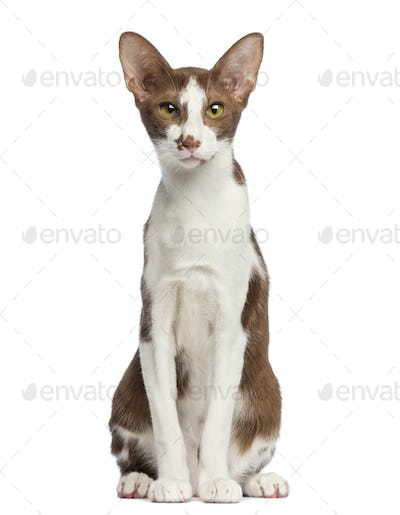 Oriental Shorthair sitting and looking at camera against white background