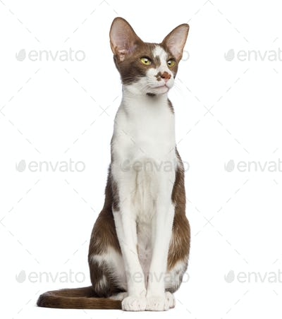 Oriental Shorthair sitting and looking up against white background