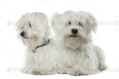 Two Maltese dogs, 2 years old, lying against white background