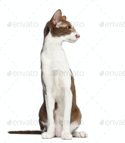 Oriental Shorthair sitting and looking away against white background