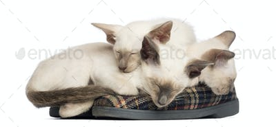 Three Oriental Shorthair kittens, 9 weeks old, lying and sleeping