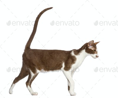 Side view of an Oriental Shorthair walking against white background