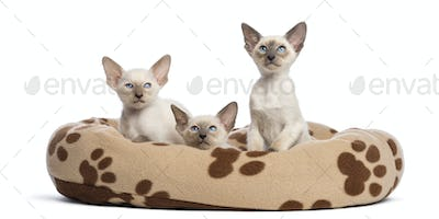 Three Oriental Shorthair kittens, 9 weeks old, sitting in cat bed against white background