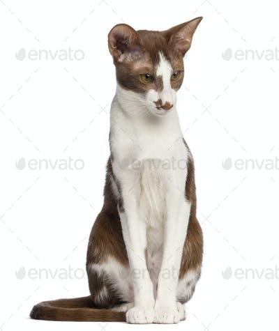 Oriental Shorthair sitting and looking down against white background