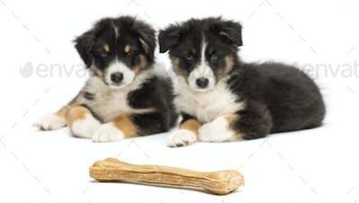 Two Australian Shepherd puppies, 2 months old, lying