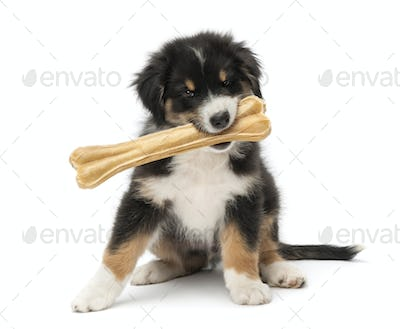 Australian Shepherd puppy, 2 months old, sitting and holding knuckle bone