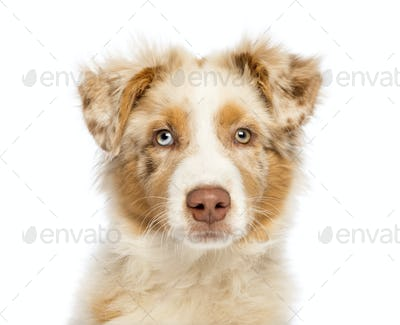 Close up of an Australian Shepherd puppy, 3.5 months old, looking at camera against white background