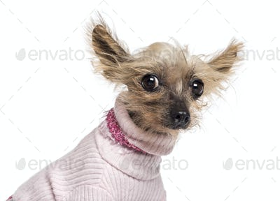 Chinese Crested Dog, 10 years old, dressed in pink and looking at camera against white background